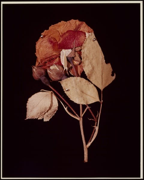 Hollis Frampton, XIV. ROSE (Rosa damascena) from ADSVMVS ABSVMVS, 1982
