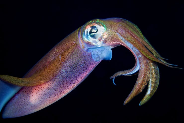 Gradient -- Physiological color change in cephalopods